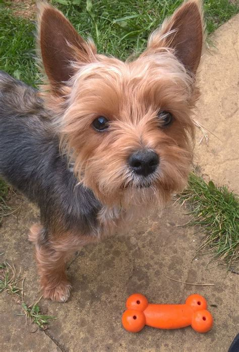 yorkie at 6 months boy yorkie 6 months puppy pedigree but no papers milton keynes buckinghamshire