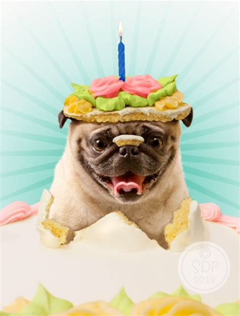 pug birthday pictures birthday pug pictures