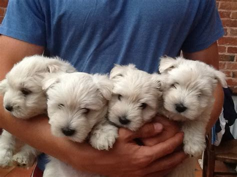 west highland white terrier puppies for sale west highland white terrier puppies for sale ashbourne derbyshire pets4homes