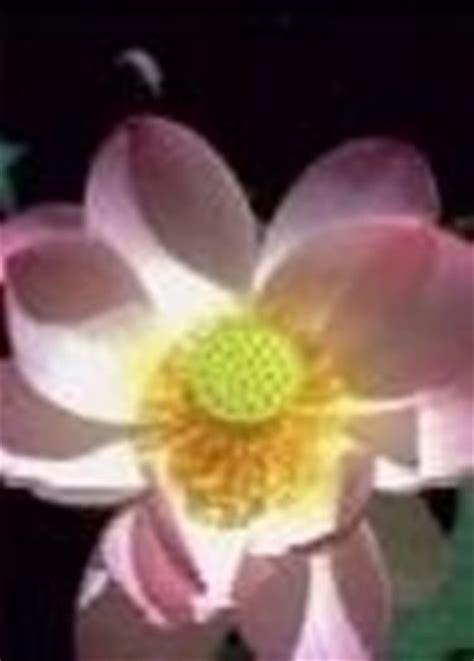 fior di loto coltivazione fior di loto nelumbo nucifera piante acquatiche