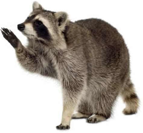 how to get rid of raccoons in my backyard how to get rid of raccoons diy pest control acme how