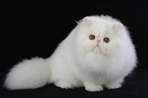 gatti persiani persiano vincitore giufrans roberto brumat