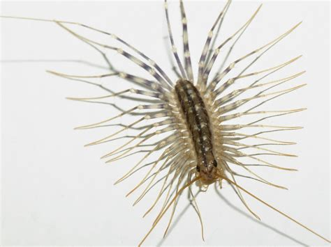 buy house centipedes centipede and millipede wallpaper