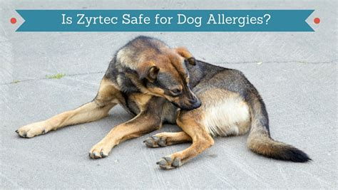 can dogs take zyrtec is zyrtec safe for dogs smart owners