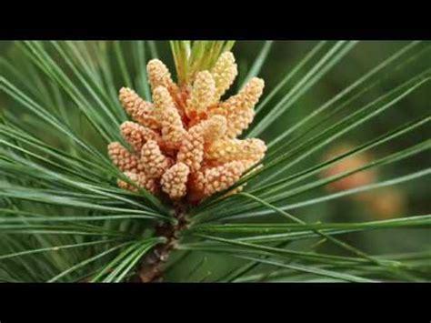 fiori di bach pine il fiore di bach pine o pino