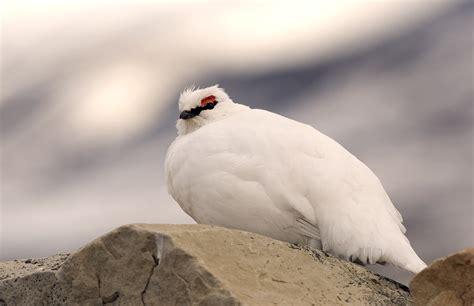 albertarose org canada provincial and territorial birds