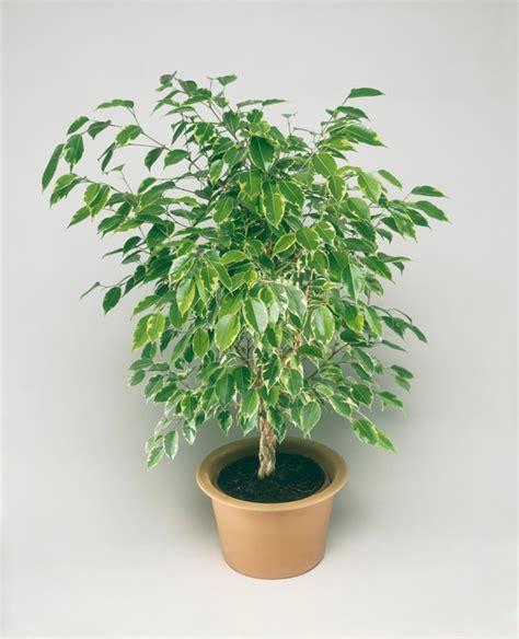 pflegeleichte zimmerpflanzen die  besten giftige