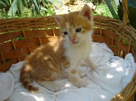 wallpaper anak kucing comel gambar 100 wallpaper kucing lucu comel kualitas hd anggora