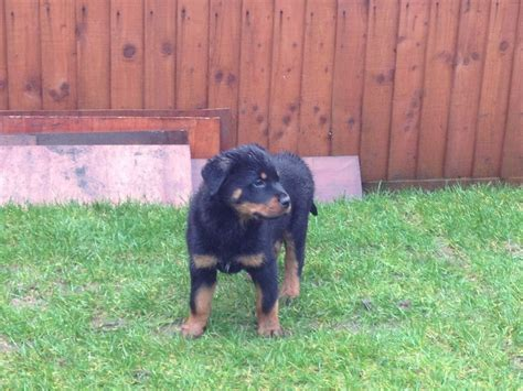 european rottweiler breeders rottweiler puppies from top european bloodlines caerphilly caerphilly pets4homes