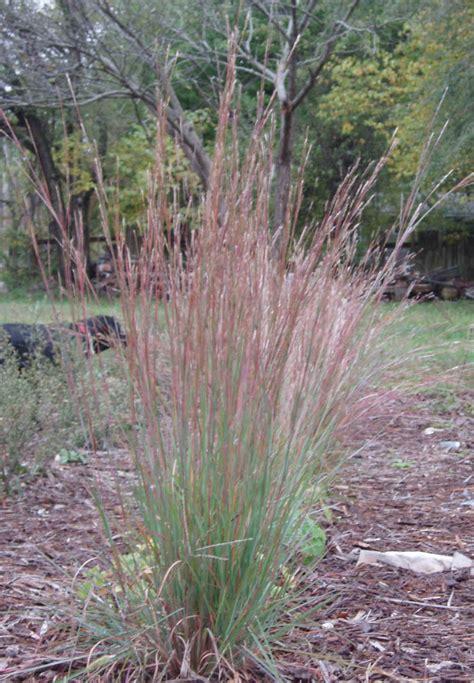 50 Sq Feet by Schizachyrium Scoparium Little Bluestem Seed Amp Plants