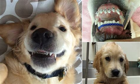 golden retriever with braces golden retriever puppy who has to wear braces becomes an instant hit daily