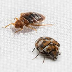 bed bug look alike the difference between carpet beetles and bed bugs