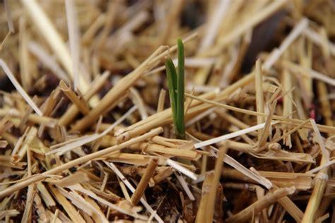 knoblauch pflanzen und ernten 4635 knoblauch pflanzen pflanzen auf stroh