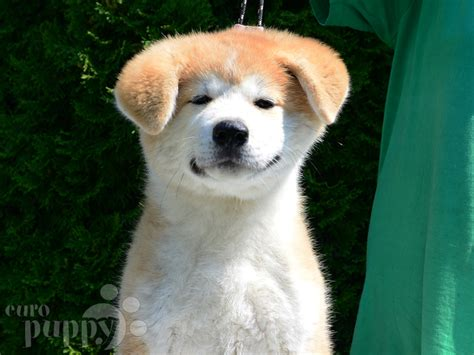 akita inu puppy hachiko akita inu puppy for sale puppy
