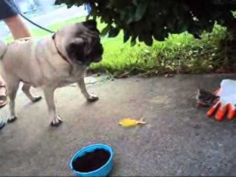 pug vs baby pug vs baby bird