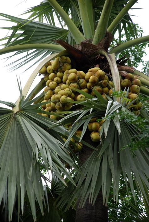 palm tree fruit name asian palmyra palm world crops database tropical fruits