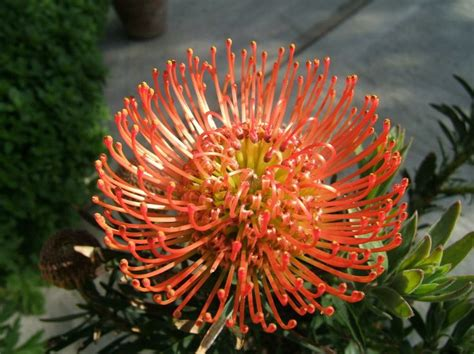 On On Cushion Flower pincushion flower succession 1 b l o o m s