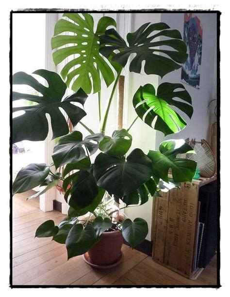biggest house plants top 28 pin big leaf house plants large heart shaped