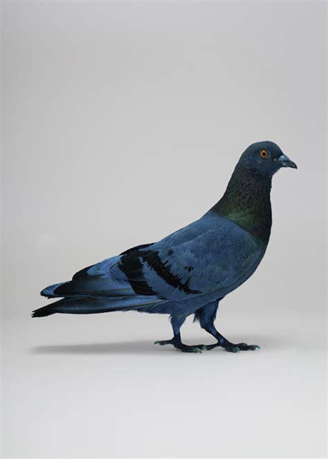 designspiration blue best pigeon blue imaging art images on designspiration