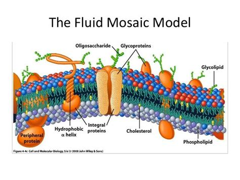 carbohydrates   fluid mosaic model anime