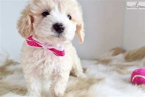 find a puppy near me find puppies near me pets world