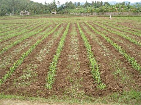 Tanam Jagung Pakan Ternak inovasi tanam jagung rapat menghasilkan produksi tinggi
