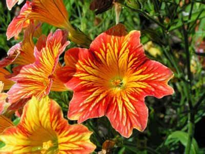 salpiglossis painted tongue  profile   annual