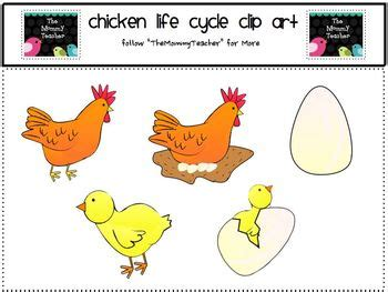 life cycle of a chicken photo cut out chicken cycle thinglink