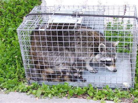 how to get rid of a raccoon in your backyard how to get rid of raccoons