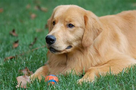 therapy golden retrievers for sale how you stop a puppy from biting info on dogs trust golden retrievers for sale in nc