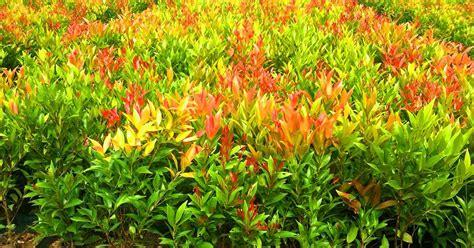 Jual Lu Hias tanaman hias ngadiluwih jual tanaman pucuk merah ke madura