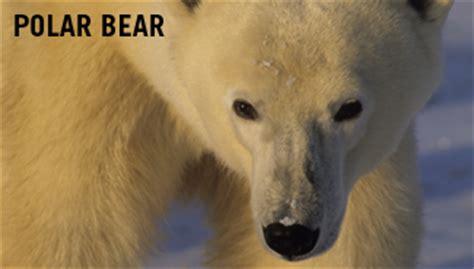 Polar Extinction Essay by The Center At Hudson Bay Canada November 2010