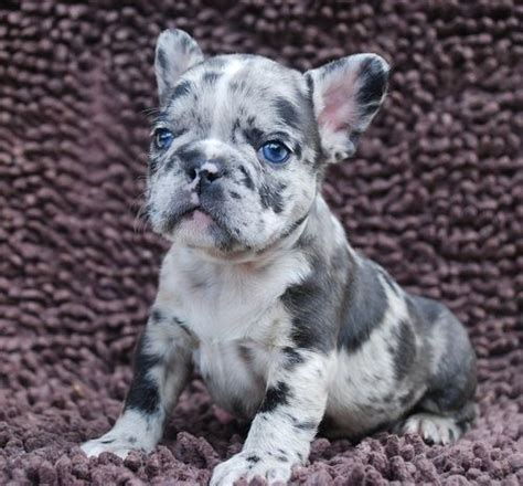 merle frenchie puppies for sale frenchbulldogsallcolors lilac and lilac merle litter