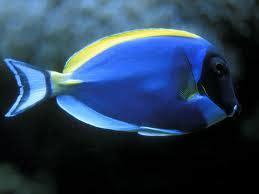 Ikan Hias Laut Letter Six Dori Tiny jual ikan hias air laut