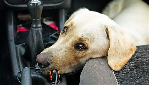 puppy gets car sick car sickness helping labs that get travel sick