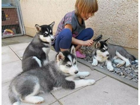 puppies for sale palm bay fl playful intelligent and loving these siberian husky puppies animals palm bay