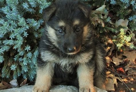 rescue german shepherd puppies bichon frise puppies rescue related keywords bichon frise puppies rescue