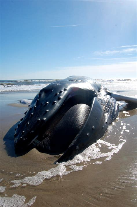 Top Outer 1 humpback whale found stranded on outer banks environment pilotonline