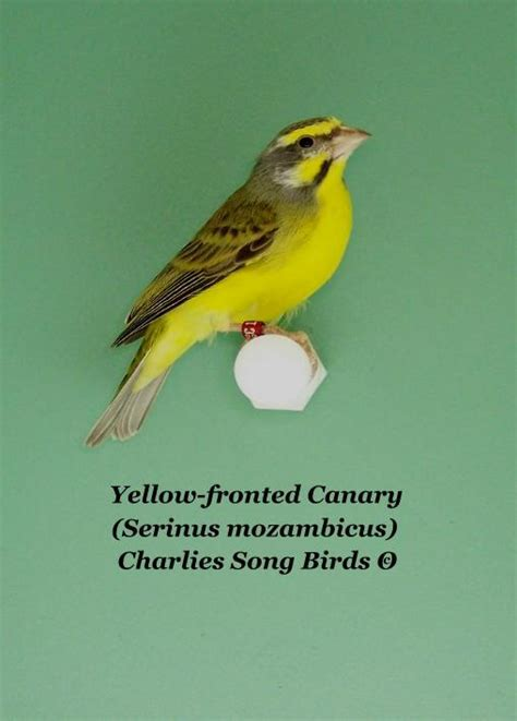 Sprei Canary Song s song birds the yellow fronted canary