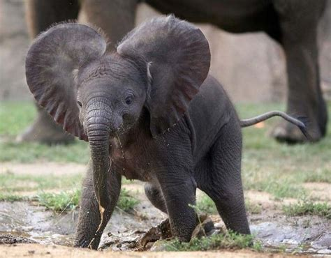 different types of elephants in the world in elephant elephants pinterest different types