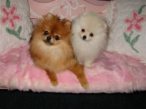 teddy pomeranian for sale in teddy rescue in illinois breeds picture
