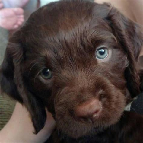 american water spaniel puppies  sale  weeks