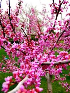 redbud tree is in full bloom my garden pinterest
