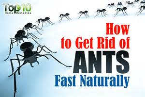 home remedies to get rid of ants how to get rid of ants fast naturally top 10 home remedies