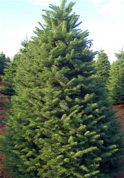 christmas tree types available at big wave dave s