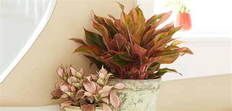 Plants That Grow In Dark Rooms by Red Aglaonema Costa Farms