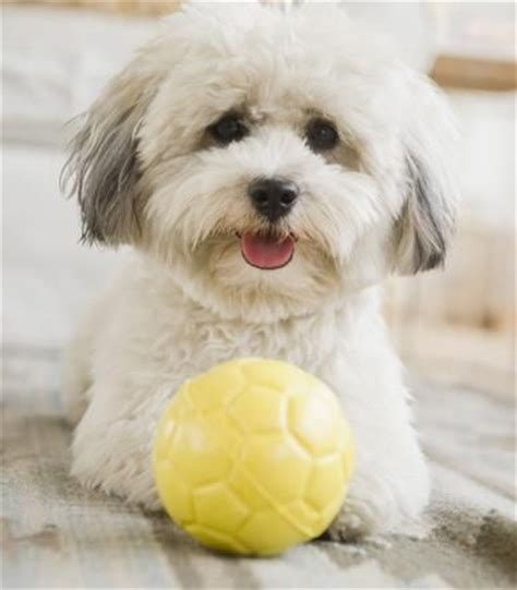 coton havanese mix coton de tulear to find out and crosses on