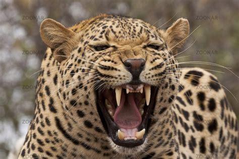 s leopard leopard panthera pardus das gebiss der leoparden