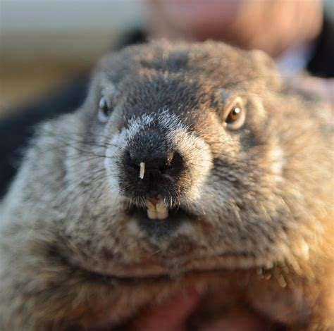the groundhog day groundhog day 2016 punxsutawney phil sees no shadow