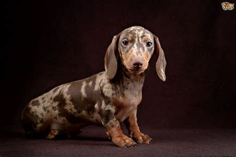 dapple puppies dapple dachshund dogs and their problems pets4homes
